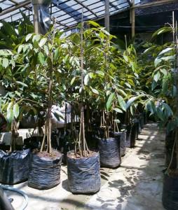 Bibit Durian Bawor Banyak