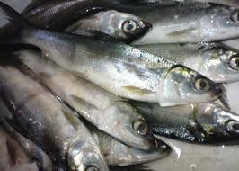 Budidaya-Ikan-Bandeng