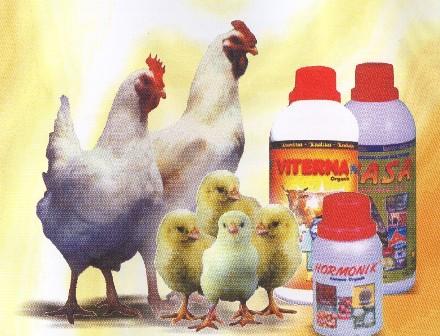 Beternak-Ayam-Pedaging
