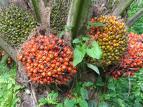 buah kelapa sawit