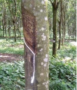 Tanaman-Karet-Nasa