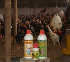Ayam-Kampung-Super