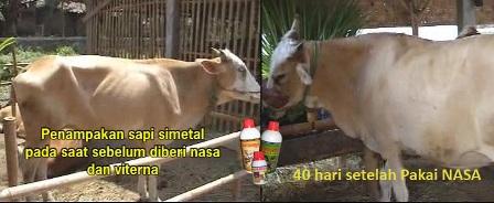 Sapi Nasa